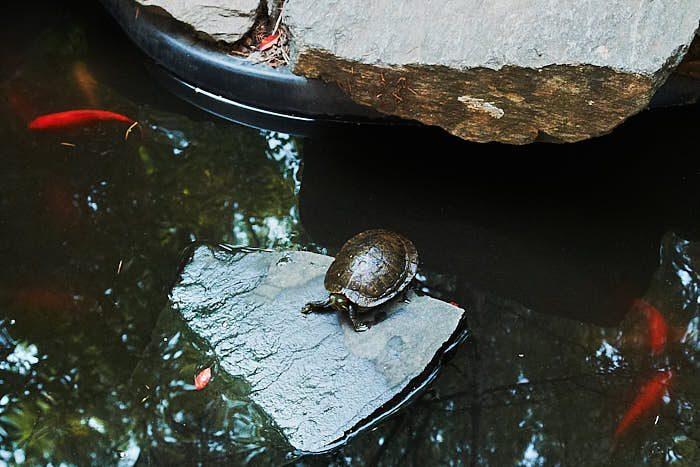 Dammar finns i många Community Gardens, förutom guldfiskar lever inte sällan någon sköldpadda där. Bild från 6Th & B Garden.