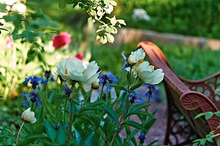 Sortnamnet på den läckra vita pionen invid örtagårdens soffa är bortglömt, men visst liknar den en 'Krinkled White' alldeles väldigt.