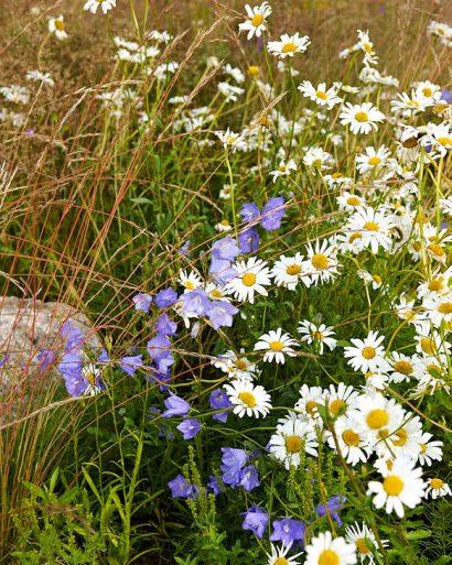 Ängsväxter hör hemma i den naturnära trädgården, prästkragar, blåklocka och klöver. Låt dem sprida sig och blomma klart i något hörn av tomten, klipp ner och med använd som gräsmatta resten av året. Men gödsla inte, och låt det inte bli för mycket klöver som samlar kväve.