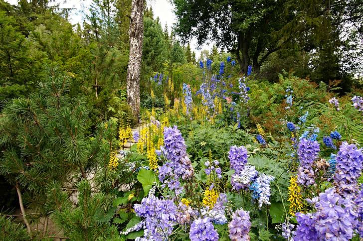 Trädgårdsväxter kan gott få växa ända in mot skogen. Välj robusta typer, som riddarsporre, Delphinium, och klippstånds, Ligularia, de klarar av att växa med viss konkurrens från trädens rötter. Bild från Villa Fraxinus i Ångermanland.