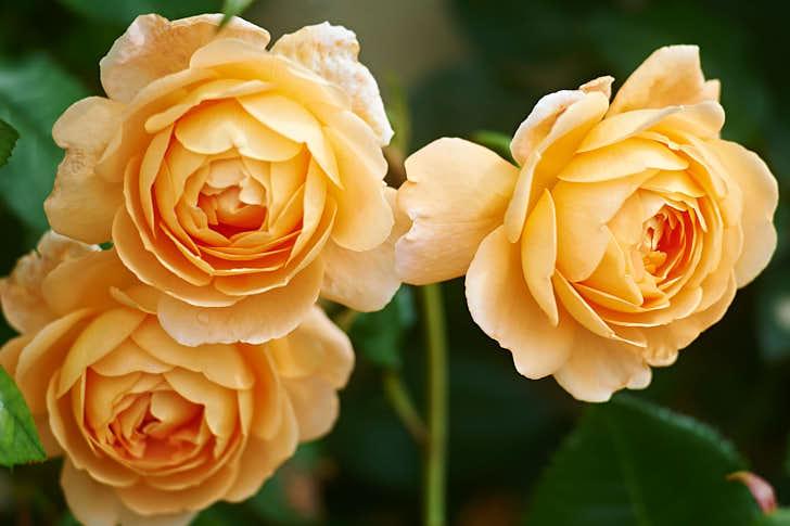 'Crown Princess Margareta' har namnsatts efter svenska kronprinsessan Margareta, barnbarn till dåvarande engelska drottningen Victoria. Det var hon och hennes make Gustaf Adolf som vid förra seklets början skapade Sofieros trädgård. Aprikosfärgad med orange inslag, kan användas som klätterros i sydligaste Sverige.