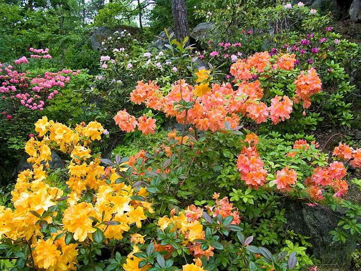 Rododendron och azaleor passar bättre än man kan tro i den skogsnära trädgården, de sprider sig vildsint. I skogsbrynet på Karin Wilhelmssons tomt i Vidja söder om Stockholm fröar de av sig till den grad att hon måste gallra bland alla småplantorna.