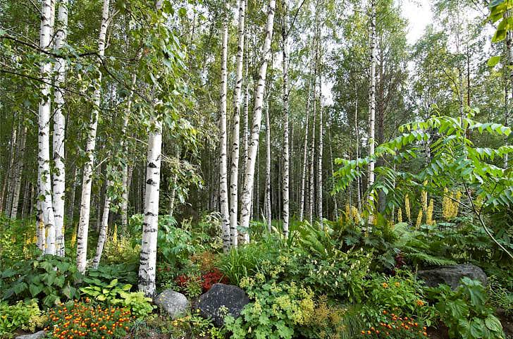 En överväldigande övergång mellan trädgård och björkskogens vita stammar i södra Norrbotten. Ljuvlig blandning med bland annat perenna spirstånds, gullstav, jättedaggkåpa, strutbräken och trädgårdsiris. Till höger skymtar det exotiska bladverket hos en manchurisk valnöt Juglans mandshurica.