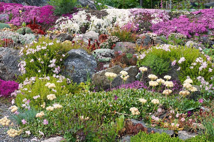 Det finns inga hopplösa platser, vackrast tänkbara rabatter skapade på berghällen med hjälp av extremt torktåliga växter som rosa och vit rosenbräcka, Saxifraga Arendsii-gruppen, bergnejlika, Dianthus gratianopolitanus, broklewisia, Lewisia cotyledon och purpurbräcka, Saxifraga oppositifolia. Bild från Karin Wilhelmssons trädgård söder om Stockholm.