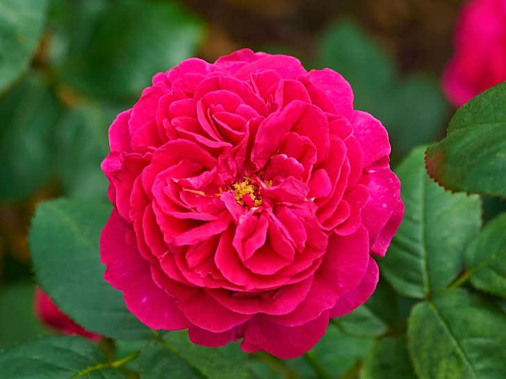 'Wenlock' är namnet på en förkastningsbrant, som förekommer i en känd dikt, i närheten av David Austins anläggning i engelska Shropshire. Den har en bourbonrosröd färg likt en gammaldags ros och doftar som en sån.