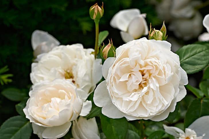 'Glamis Castle', är det slott som inte bara är engelska drottningmoderns barndomshem utan där också William Shakespeares berömda pjäs Macbeth utspelas. Som ros är den vit med gammaldags utseende och doft av myrra. Småvuxen, blommar för jämnan under säsong, plantera gärna många tillsammans.