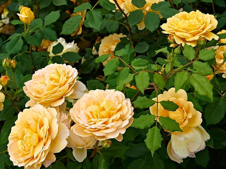 'Golden Celebration' har namnsatts för att fira paret Austins guldbröllop. Blomman är ett praktexempel på vad David Austin åstadkommit ifråga om gula rosor, stora, välformade med kopparnyans.