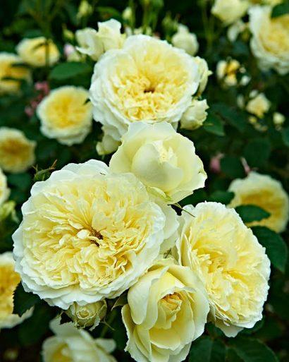 """'The Pilgrim' har fått namnet från kända """"Canterbury Tales"""", vilken innehåller, berättelser från 1400-talet skrivna på vers. Blommorna är stora, med klassiskt flat framsida. Exceptionellt vackra i en ljusgul färg som bleknar mot kanterna."""