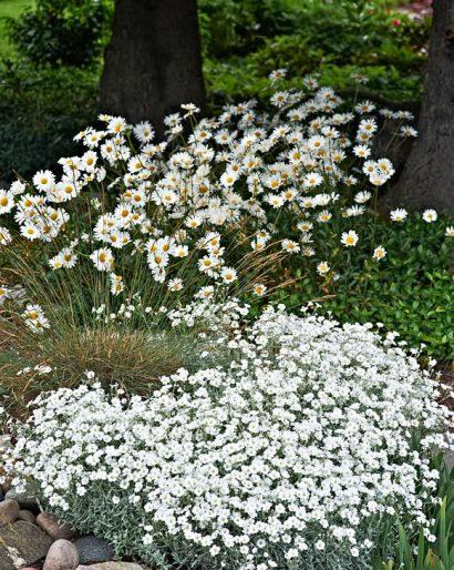 Vitt i vitt i övergången mellan dammen och granens skugga. I förgrunden silverarv, Cerastium tomentosum, bakom vanlig prästkrage.