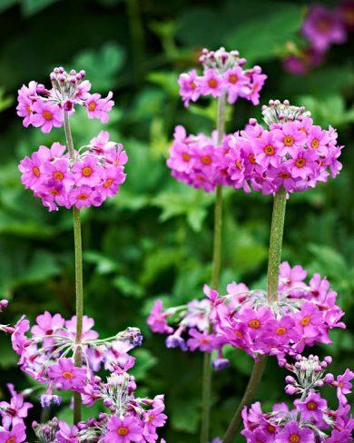 Röd kandelaberviva, Primula beesiana, är en läckerhet som odlas alldeles för sällan. Fortsätter med nya kransar av blommor, blir högre och högre, långt in över sommaren.