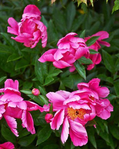 Identiteten på de mörkrosa pionerna råder viss tvekan om. Margareta köpte dem mot slutet av en trädgårdsmässa. Säljaren ville snabbt avyttra dem och slängde ner ett antal i en kasse till ett billigt pris. Ursprunget förblev okänt, men en gissning kan vara den tidiga och härdiga luktpionen 'Paula Fay'.