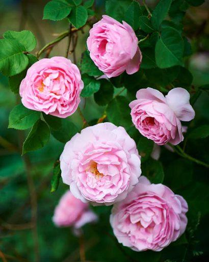 Engångsblommande favorit, 'Constance Spry'. Klätterros som växer frodigt även i Mellansveriges inland. Stora, ljuvligt doftande och perfekt rosa blommor under juli. Bild från vårt hem.