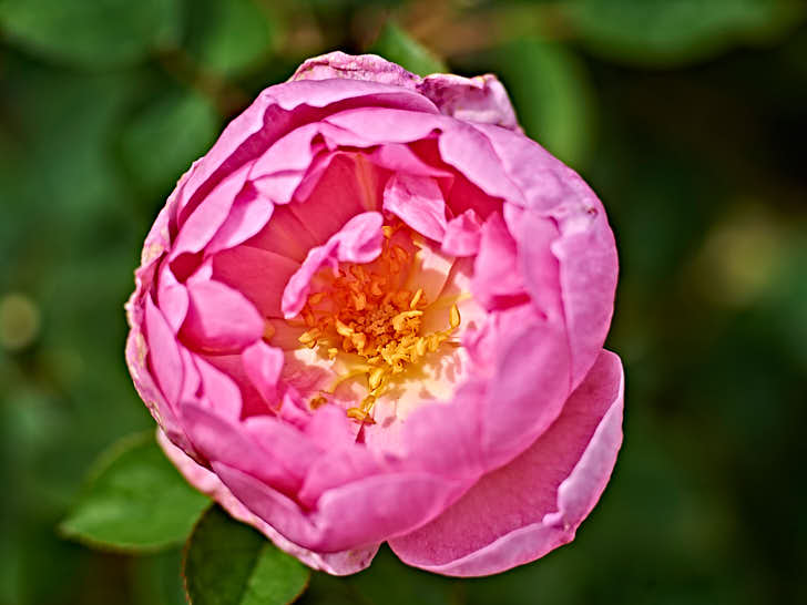'Skylark', alltså sånglärka, fick sitt namn av en nunna som såg och hörde en lärka när hon först besökte Austins rosanläggning i Shropshire. Den rosa blomman är halvfylld med gula ståndare och pistiller mot vit bakgrund.