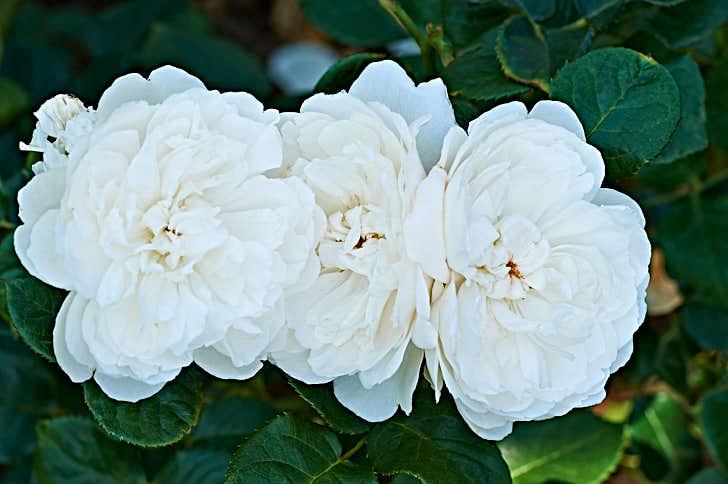 'William and Catherine' fick sitt namn i samband med det engelska prinsbröllopet 2011 – naturligtvis. Klassisk blomform, rent vit som utslagen, frisk och har fördelen att vissna utan missfärgningar.