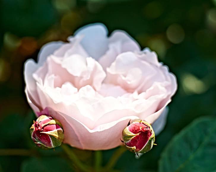 'Redoute', med röda knoppar och nästan vit som utslagen, har fått sitt namn av en berömd rosmålare. Det är en så kallad sport av sorten 'Mary Rose' och har alltså uppstått spontant på den. Extra härdig och kan odlas i större delarna av Mellansverige.