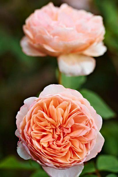 'William Morris' med enastående aprikosrosa färg på klassiskt formade, rundade blommor. Klarar sig riktigt hyggligt också i Mellansveriges inland, fryser ofta ner men skjuter nya kraftiga skott. Namnet kommer från den mångsidige engelske konstnär, formgivare och författare som dessutom var med och grundade en frihetligt socialistisk rörelse i landet.