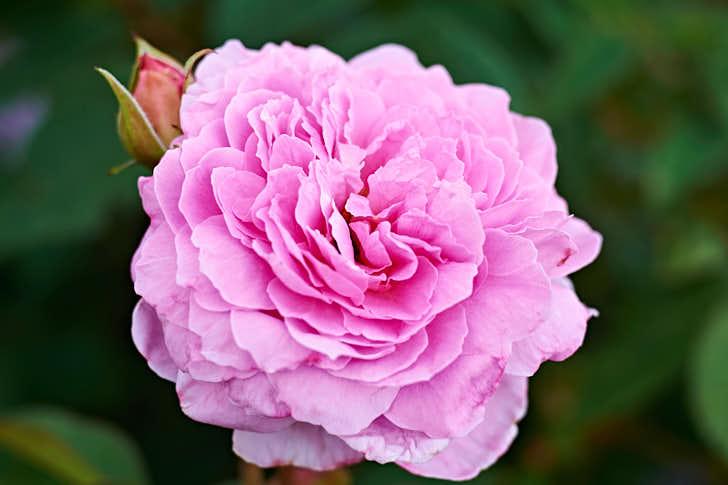 'Mayflower' är motståndskraftig mot sjukdomar och verkar vara nästan helt resistent mot svartfläckssjuka. Växer kraftigt, blommar nästan hela tiden, är tålig och klarar sig sannolikt inte bara i Mellansverige utan en bit upp efter Norrlandskusten.
