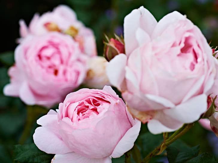 Scepter'd Isle' är ett uttryck ur William Shakespeare pjäs om Rickard III som beskriver Englands utsatthet. Blommorna är skålformade, små och söta i mjukt rosa. Passar i små trädgårdar.