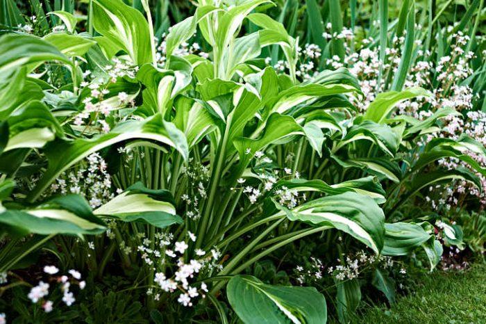 En helt osannolikt vacker kombination à la Margareta. Närmast kanten blommar skuggbräcka, Saxifraga umbrosa, med brokfunkia, Hosta undulata, till granne.