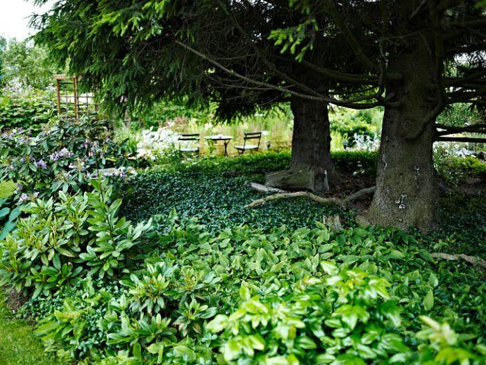 Två magnifika granar har Margareta och Gunnar sparat. Genom att kapa de nedersta grenarna, stamma upp, skapas luftighet och utrymme. Under har vintergröna, Vinca minor, fått breda ut sig.