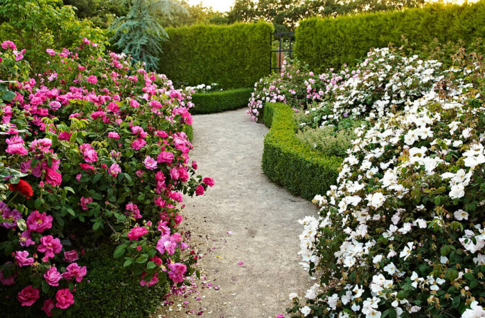 Rosenträdgårdar passar lysande innanför buxbomshäckar som här i fantastiska Laubjergs Rosenhave på Jylland.
