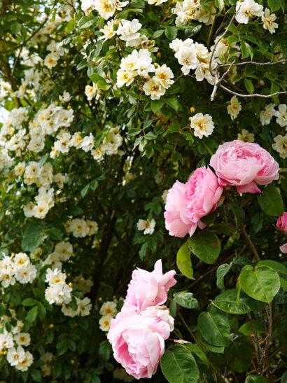 En otroligt fin kombination av ymnig blomning och riklig doft är austinrosen 'Constance Spry' tillsammans med fylld honungsros 'Hybrida'.