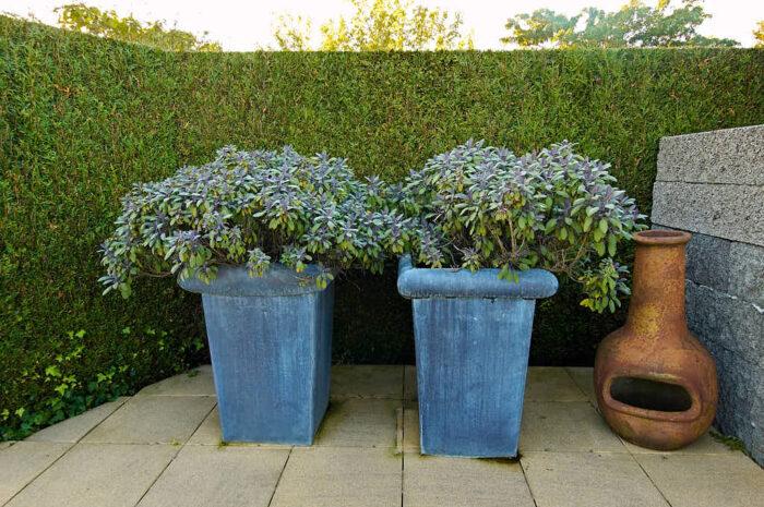 Kryddsalvia Salvia officinalis är en halvbuske med många fördelar.