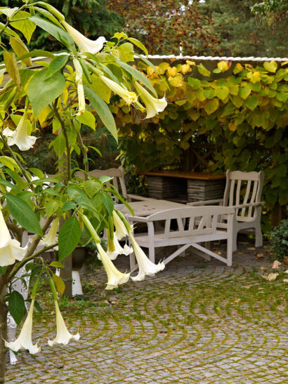 Änglatrumpeter Brugmansia tillhör de mest fenomenala växter man kan odla i krukor.