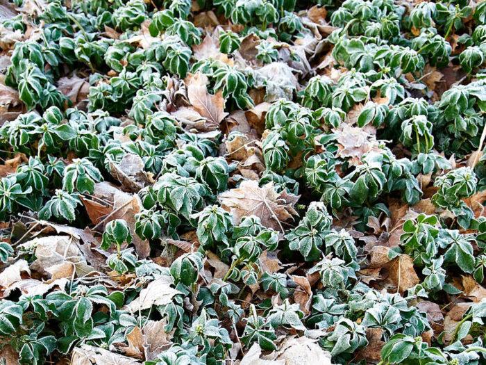 Skuggröna är en vintergrön marktäckare som tacksamt bildar sammanhängande mattor i trädgårdens halvskuggiga och skuggiga delar.