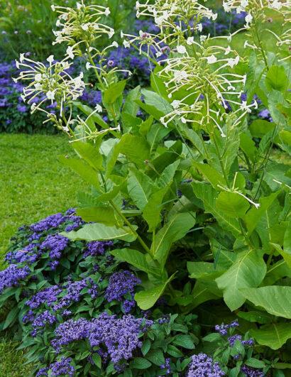 Heliotrop och stor blomstertobak doftar båda sagolikt.