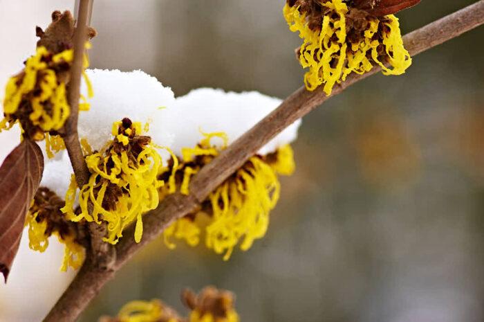 Hybridtrollhassel trotsar is och snö och kan under gynnsamma vintrar blomma redan i mitten av januari.