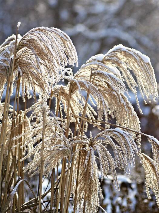 Glansmiskantus, Miscanthus sinensis, är med ett lager av tunn snö eller rimfrost i de yviga plymerna oemotståndliga.