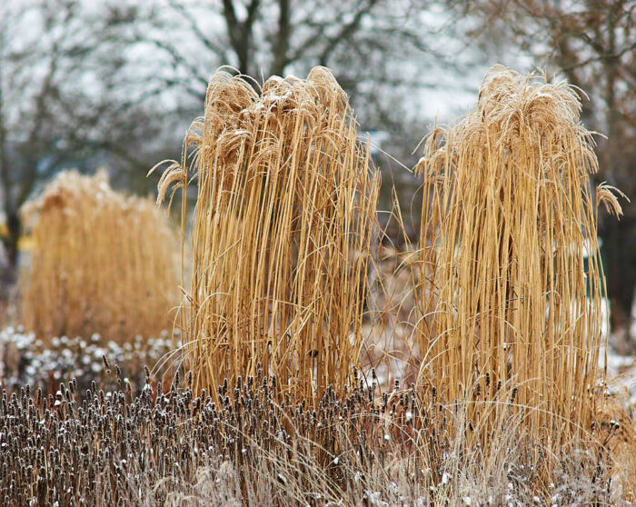 Med glansmiskantus som får växa sig stora och kraftiga skapas veritabla vinterkonstverk.