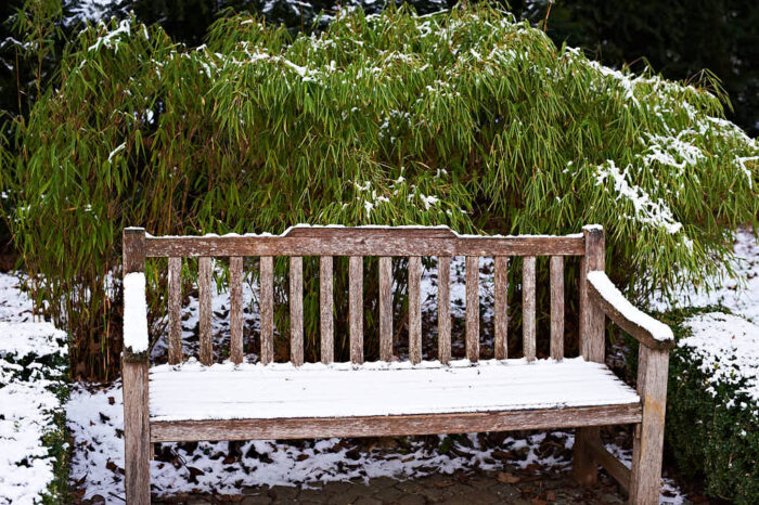 Bergbambu, Fargesia murielae, är en superb växt för vintergrönska.