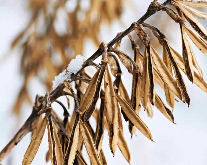 Många funkior har blomstänglar som står stadigt över vintern och ser väldigt effektfulla ut. På bilden daggfunkia, Hosta sieboldiana 'Elegans'.