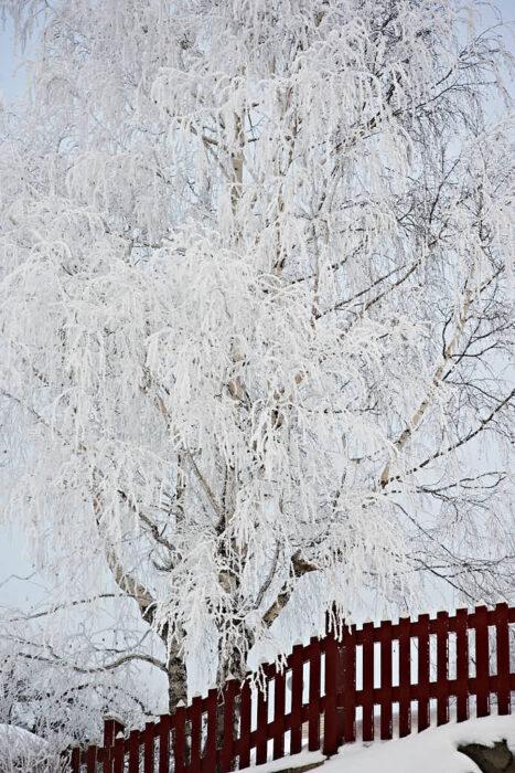Stora träd som tillåtits växa naturligt är vackra i sig men framhävs extra bra täckta med rimfrost.