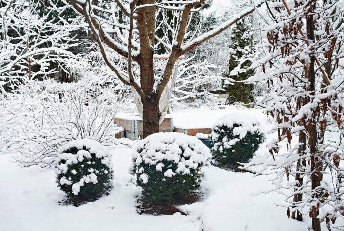 Enkla bollklippta former ger struktur sommar som vinter. Idegranar är både lättklippta och lättskötta och skjuter skott även från naken ved.