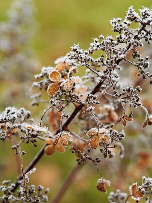 Klätterhortensians, Hydrangea anomala ssp. Petiolaris, näpna torra blommor sitter kvar över vintern och ser ut som gjorda av silkespapper.