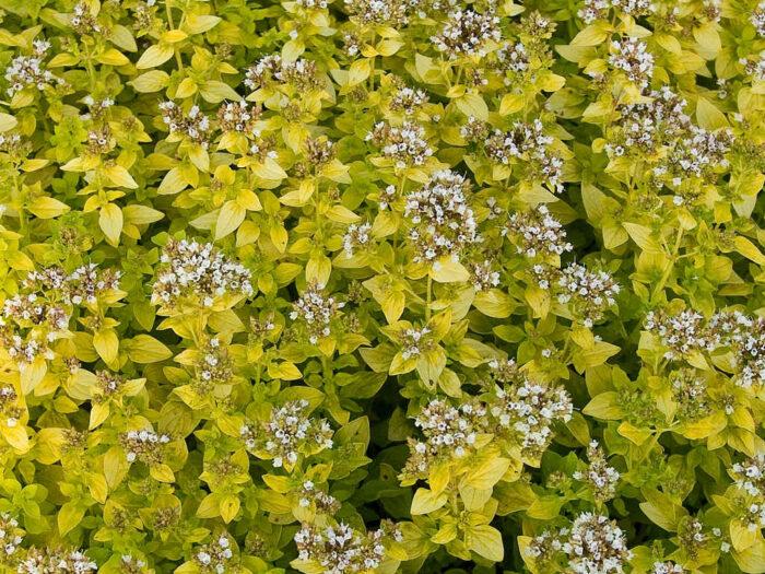 Kungsmyntan Origanum vulgare 'Aureum' behåller sin vackra, gula färg länge på sommaren, speciellt om den får blekas av solen.