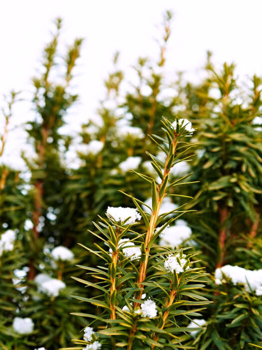 Till de barrväxter som håller sig ljusa hela året hör idegranen 'David'.