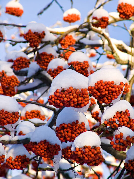 Under rönnbärsrika år kan bären sitta kvar in över den tidiga vintern. Förr eller senare äter fåglarna upp dem.