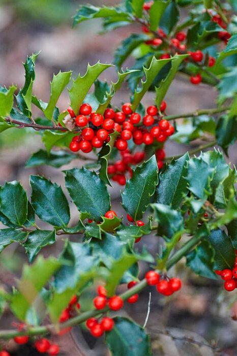 Blå järnek har blanka läderartade städsegröna blad och får tjusigt röda bär om det finns en hanplanta i närheten.