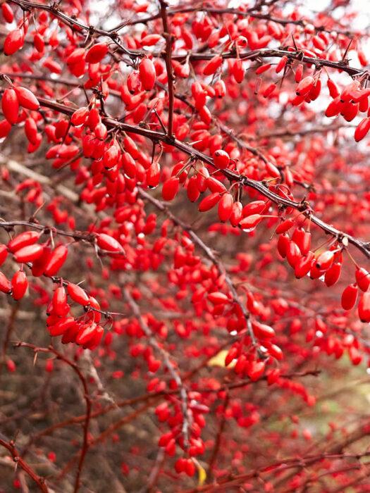 En av de bästa anledningarna att plantera häckberberis, Berberis thunbergii, är deras klarröda och avlånga frukter som både kan finnas i massor och hänger kvar under lång tid.