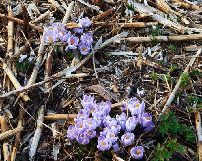 Ett alternativ tUr rester av nedklippta perenner sticker vårens lökar upp.ill jord är grus. Passar speciellt bra i tuffa klimat eftersom god dränering är nyckeln till växters härdighet.