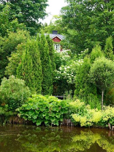 I kanten av Ullångers variant av Japanska sjön, står perennerna sköldbräcka, Darmera peltata, och jättedaggkåpa, Alchemilla mollis. Ovanför bänken blommar fläder, Sambucus nigra. I bakgrunden skymtar bostadshuset.
