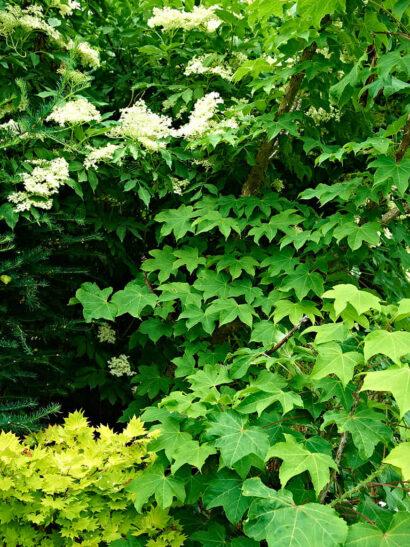 """Det finns många exceptionella små träd som klarar sig betydligt bättre i Norrland än man kan tro. Nere till vänster japansk gyllenlönn, Acer shirasawanum """"Aureum"""", till höger jättearalia, Kalopanax septemlobus. Flädern ovanför har med åldern klarat vintrarna allt mer oskadd."""