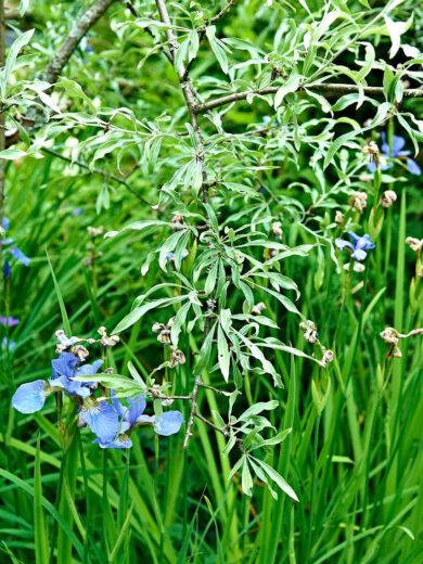 Silverpäron brukar i södra Sverige användas som stand-in för olivträd. De klarar sig uppenbart här i Ångermanland också. Extra snygg tillsammans med blå strandiris, Iris sibirica.