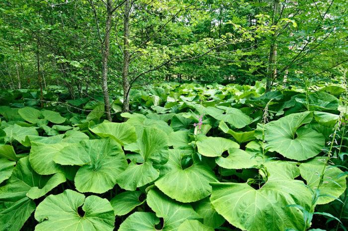 I kanten av ädellövskogen har Tommy satt den ovanliga och minst sagt ståtliga pestskråp, Petasites hybridus. En medicinalväxt som breder ut sig likt en gigantisk marktäckare en meter ovan mark.