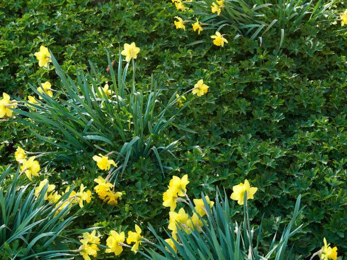Plantera lökar i mellanrummen. Mellan nävornas blad sticker påskliljor upp.