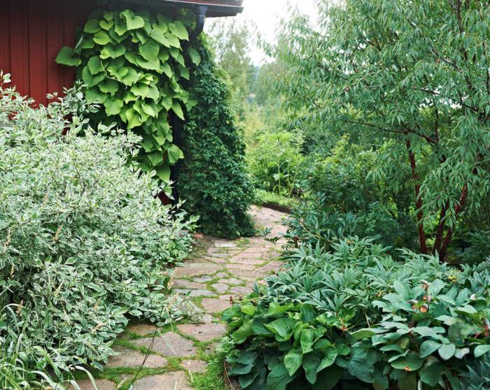 På norrsidan bakom huset hemma hos Maud Persson i Hälsingland ligger den här fantastiska rabatten. Planteringsmetoden är den som beskrivs i artikeln. Växterna är väl valda för att passa platsen. Till vänster bland annat vitbrokig kornell.